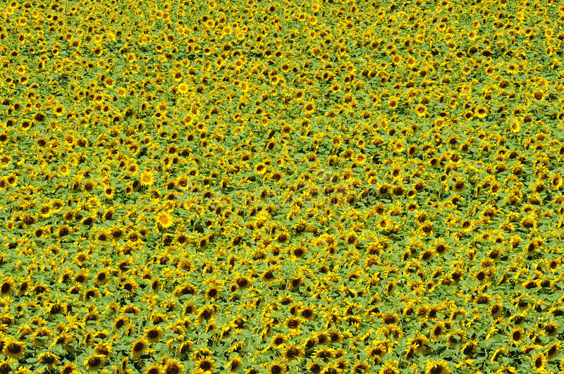 Download Sunflower field from above stock image. Image of scene - 5961059