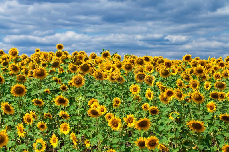 Sunflower field aтв blue sky royalty free stock photos