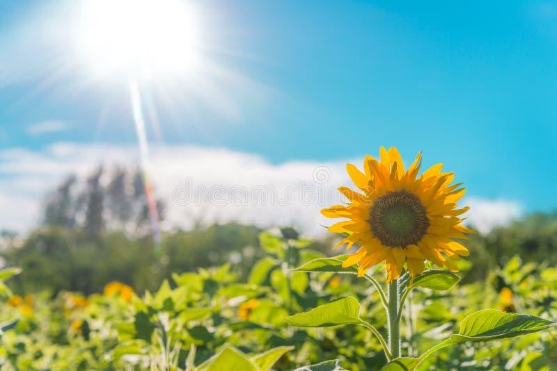 Sunflower field royalty free stock photo