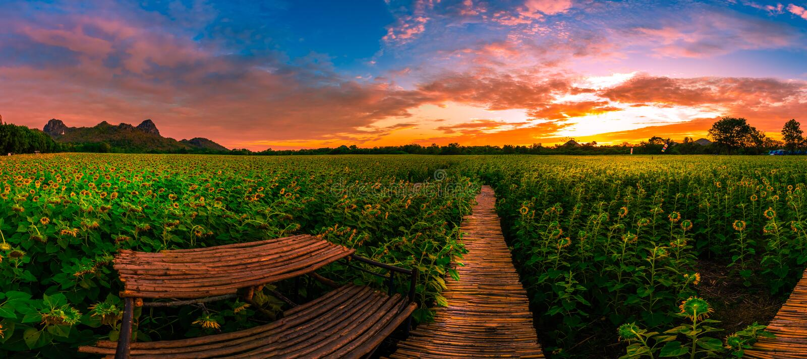 Sunflower field with beautiful sky in the morning. Jeenlae mountain Lopburi province,Thailand royalty free stock photography