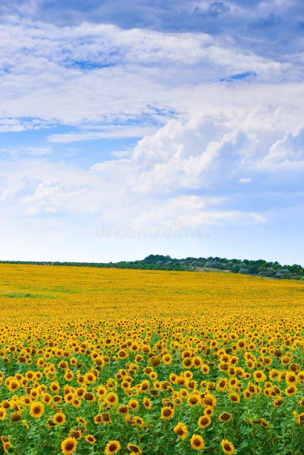 Sunflower field. Beautiful summer landscape stock images