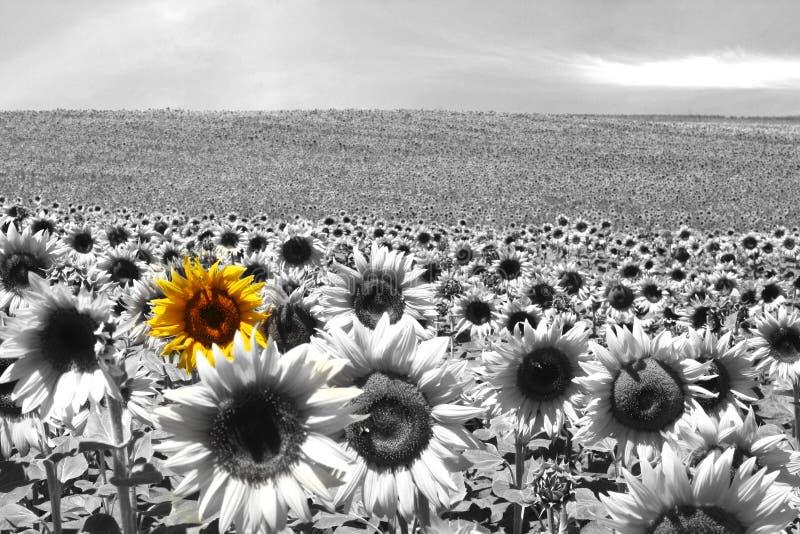 Sunflower field black & white stock photo