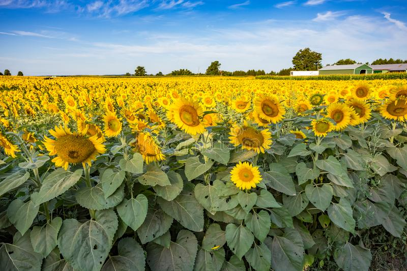 Sunflower Field/Farm Summer royalty free stock photography