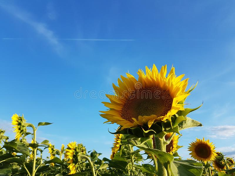 Sunflower field and blue sky with white clouds vibrant colors summer landscape royalty free stock photography
