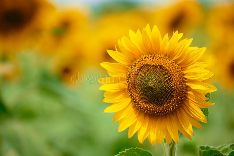 Sunflower field - bright yellow flowers, beautiful summer landscape royalty free stock image