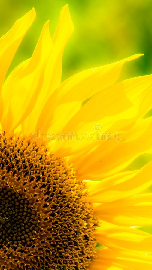 Download Sunflower in a field stock image. Image of annuus, garden - 103178049