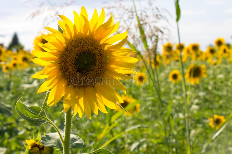 Sunflower in a field royalty free stock images