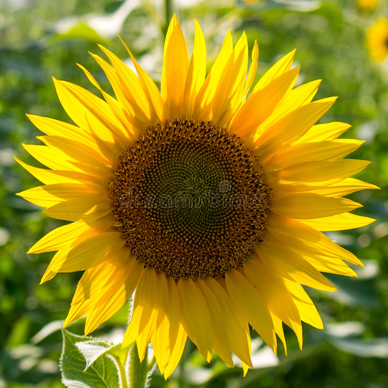 Sunflower in a field royalty free stock photo