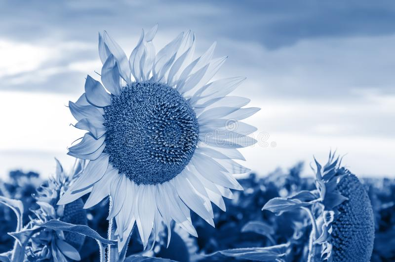 Close-up of a sunflower toned in trendy classic blue - color of the year 2020 concept. Sunflower field. Close-up of blooming sunflower toned in trendy classic stock photography