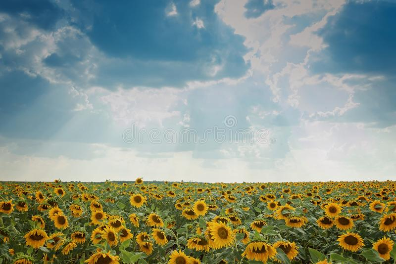 Sunflower field with cloudy blue sky. Beautiful summer landscape stock images