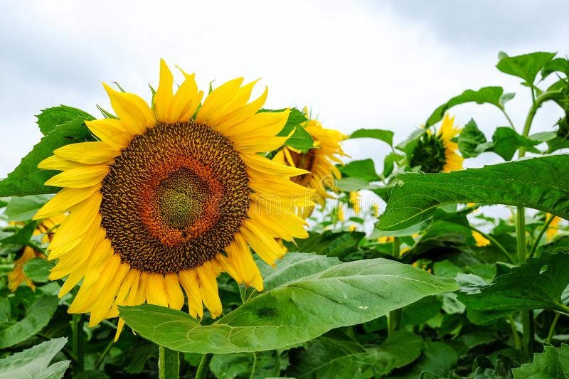 Sunflower field with cloudy sky. Nature background. stock photo