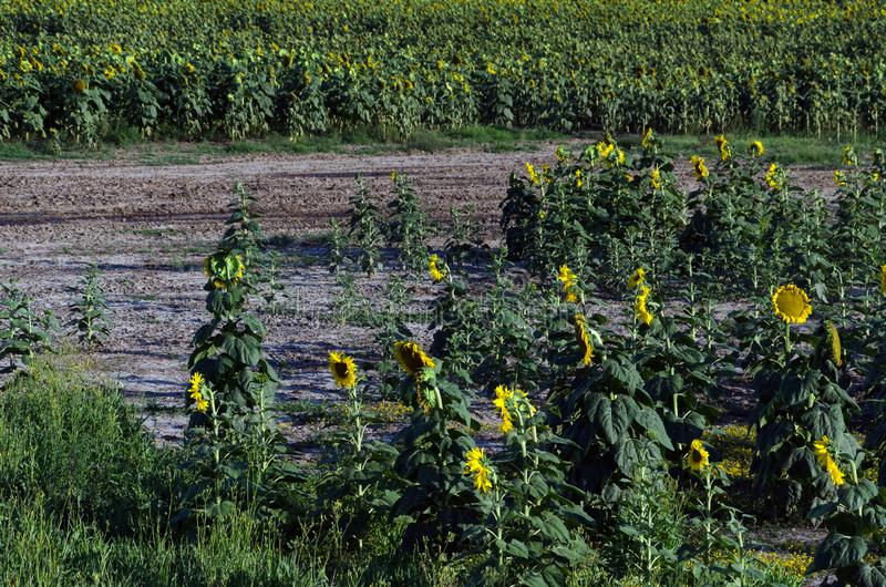 Sunflower field. Drought. Ground dry. Hungarian countryside. Global warming. Changing climate. Summer season landscape..  royalty free stock photography