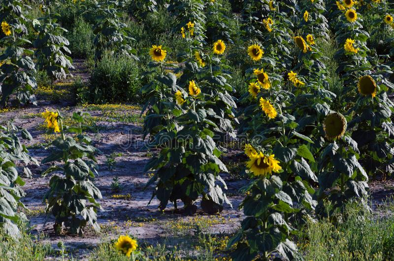 Sunflower field. Drought. Ground dry. Hungarian countryside. Global warming. Changing climate. Summer season landscape..  royalty free stock photo