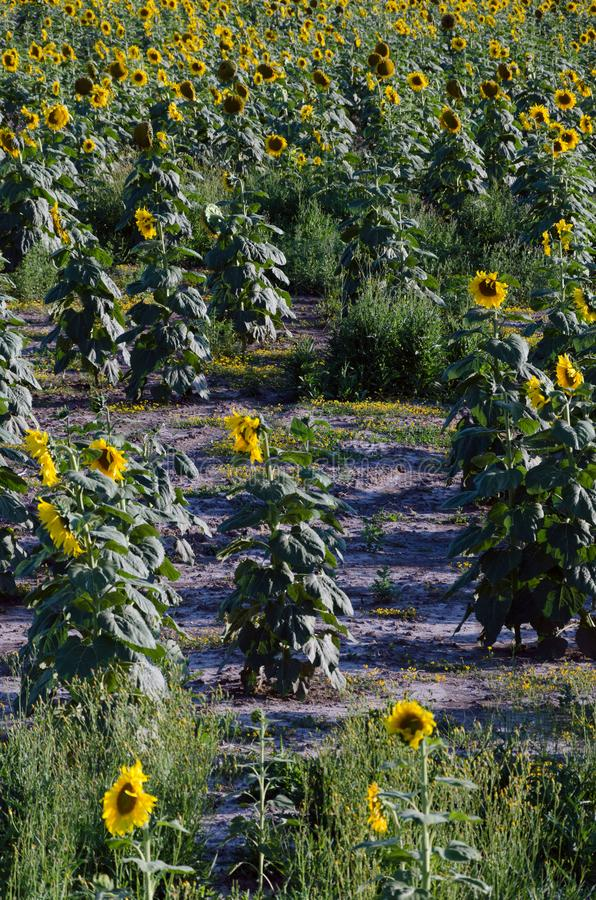 Sunflower field. Drought. Ground dry. Hungarian countryside. Global warming. Changing climate. Summer season landscape..  stock image