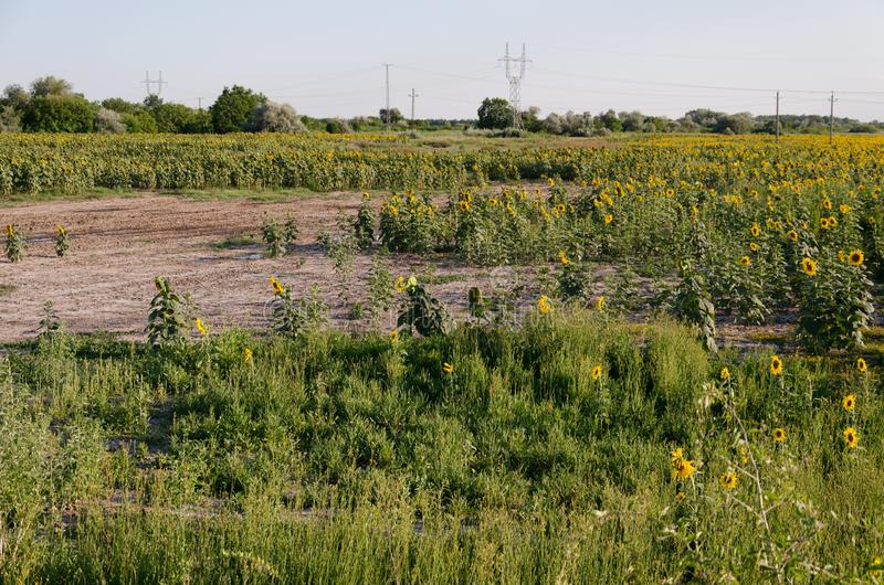 Sunflower field. Drought. Ground dry. Hungarian countryside. Global warming. Changing climate. Summer season landscape.  royalty free stock images
