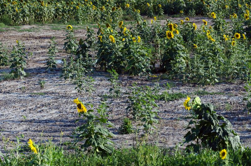 Sunflower field. Drought. Ground dry. Hungarian countryside. Global warming. Changing climate. Summer season landscape..  stock photos