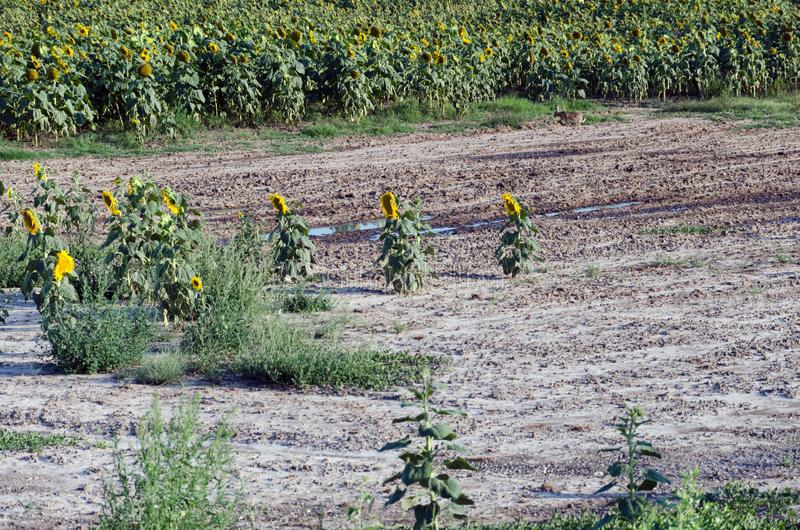 Sunflower field. Drought. Ground dry. Hungarian countryside. Global warming. Changing climate. Summer season landscape..  stock photography