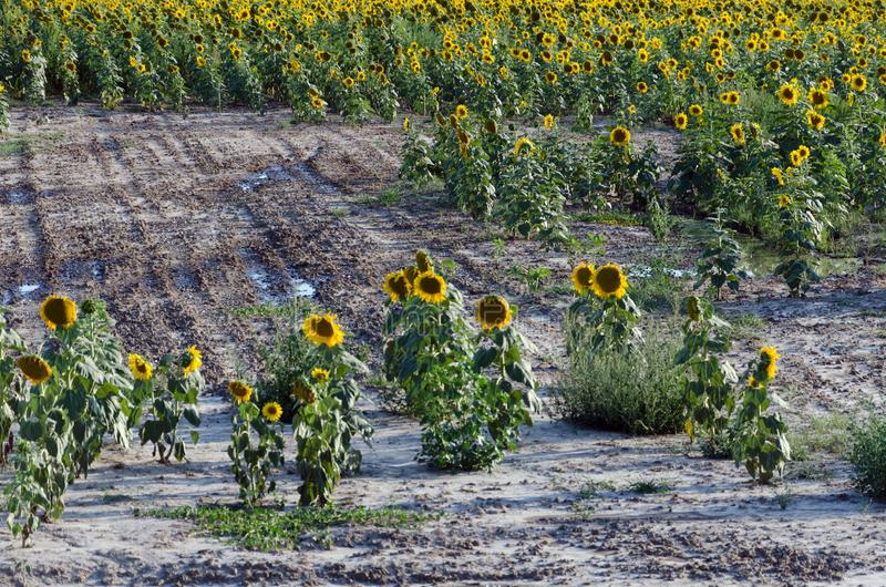 Sunflower field. Drought. Ground dry. Hungarian countryside. Global warming. Changing climate. Summer season landscape..  royalty free stock photos