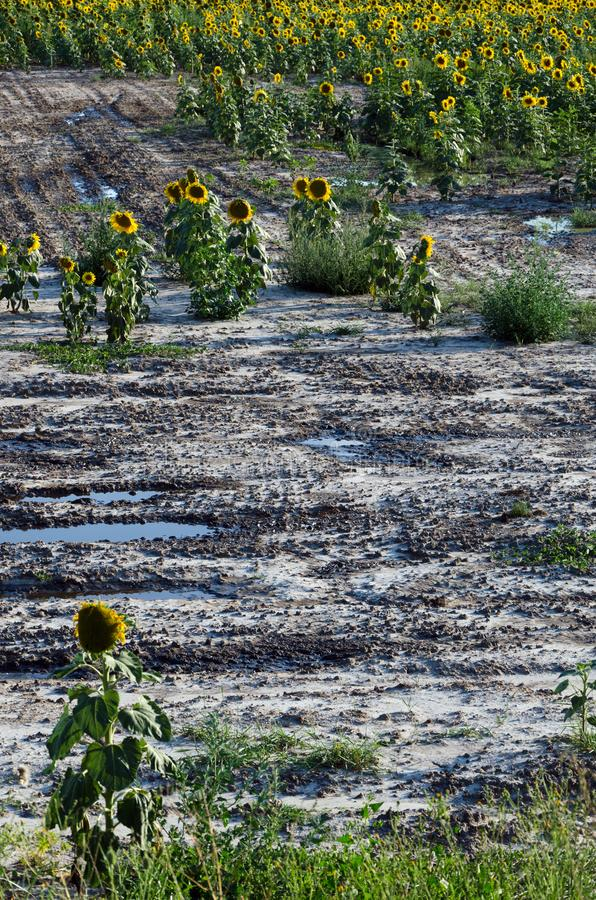 Sunflower field. Drought. Ground dry. Hungarian countryside. Global warming. Changing climate. Summer season landscape.  royalty free stock photography