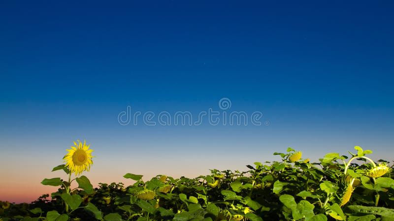 Sunflower field in early August night. Beautiful yellow sunflower in the field in early August night meets the moon stock images