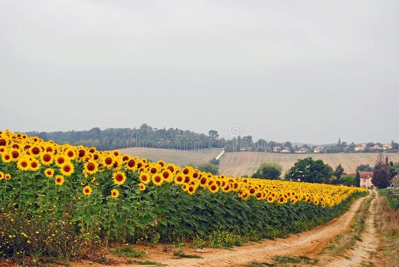 Sunflower field in full bloom in French countryside. Road to farmhouse. stock image