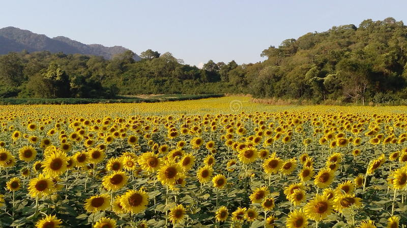 Blooming field of Sunflower royalty free stock photos