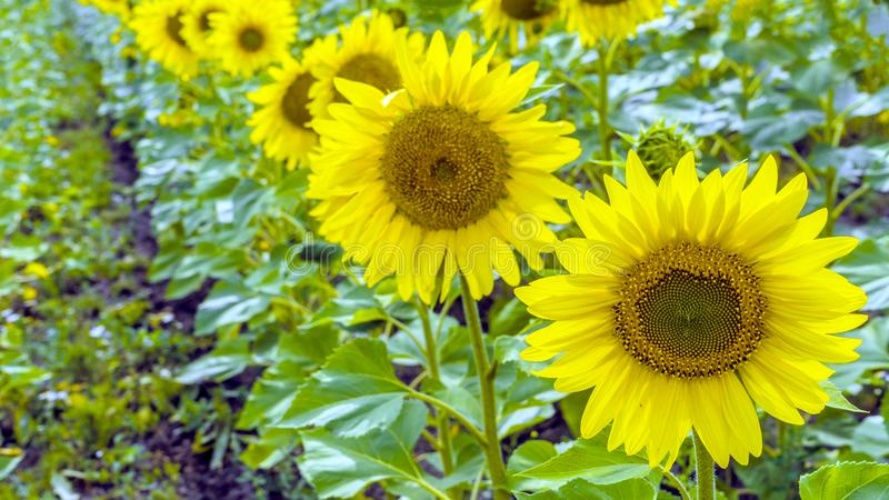 Sunflower field landscape on sunny day close-up royalty free stock image
