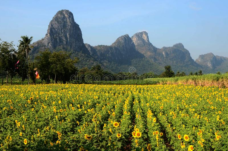 Sunflower field with limestone mountains stock photo