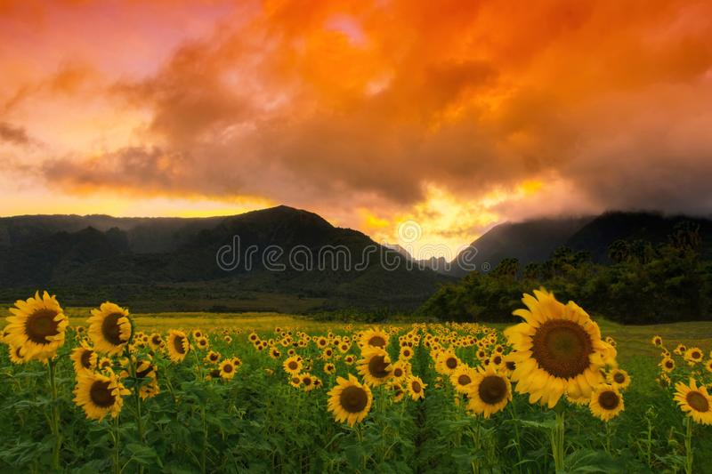 Sunflower Field with mountains and sunset in Maui, Hawaii royalty free stock photo