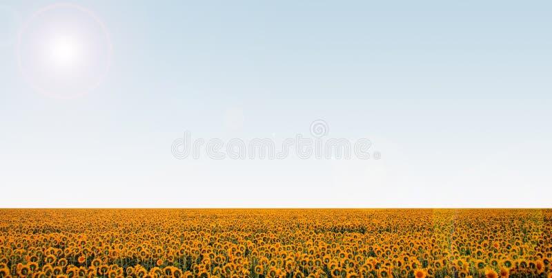 Sunflower field over blue clear sky stock photo