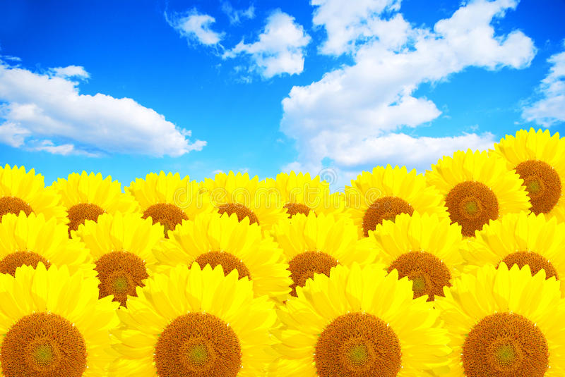 Sunflower Field Over Cloudy Blue Sky Royalty Free Stock Photos