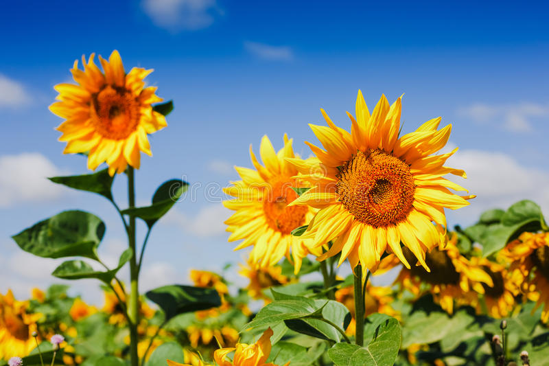 Sunflower field over cloudy blue sky royalty free stock images