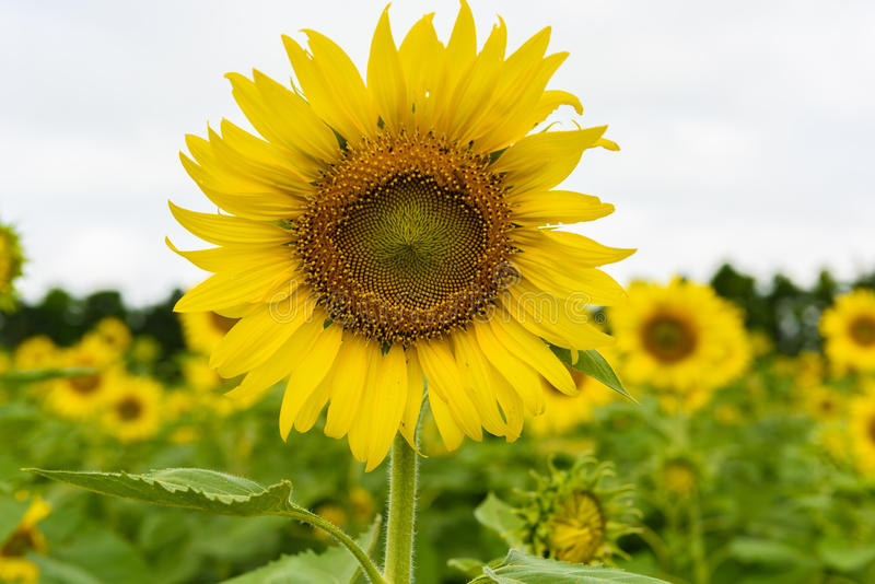 Sunflower field over cloudy blue sky stock images