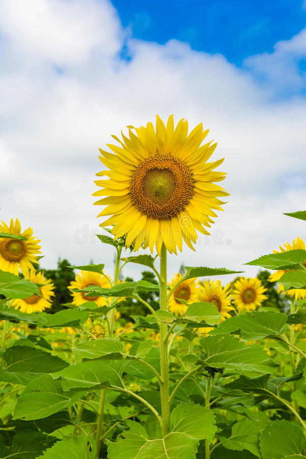 Sunflower field over cloudy blue sky stock photography