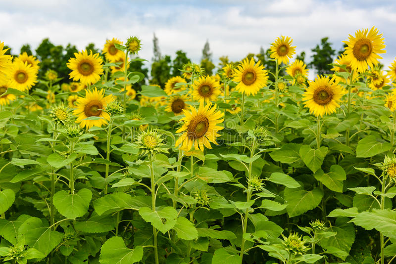 Sunflower field over cloudy blue sky royalty free stock photography