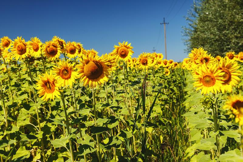 sunflower field over cloudy blue sky and bright sun lights. Summer landscape, road-path in the field. royalty free stock images