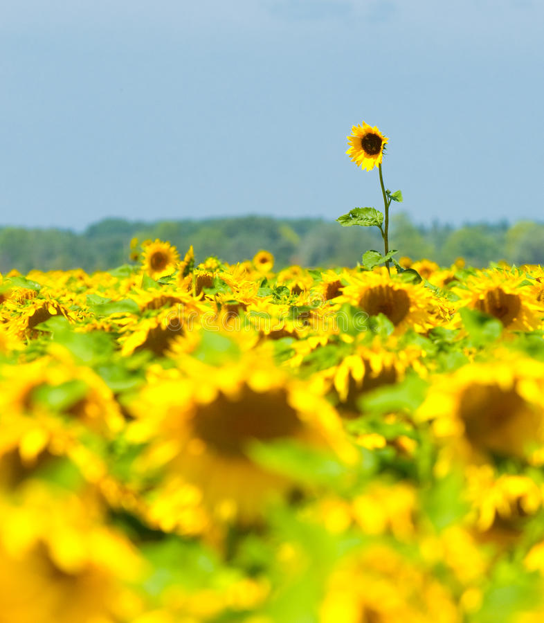 Sunflower field, Provence, France, shallow focus royalty free stock image