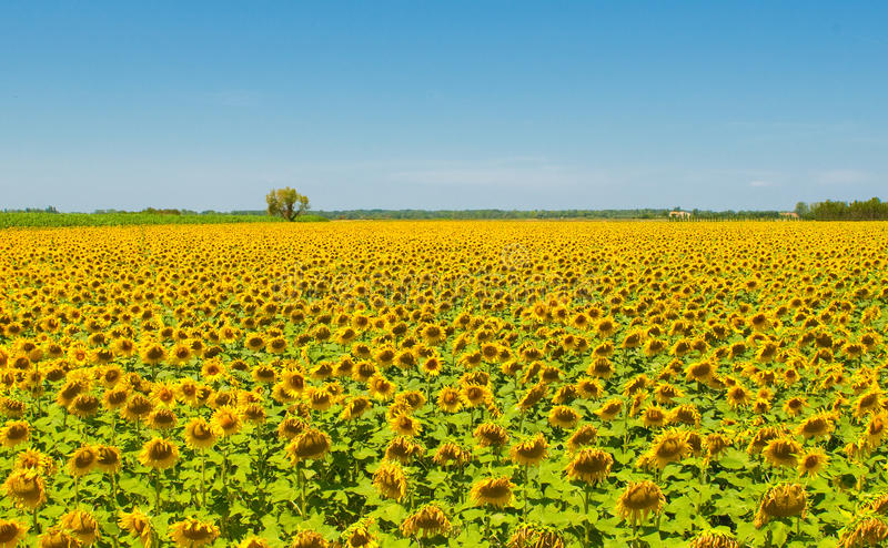 Sunflower field, Provence, France, shallow focus stock images