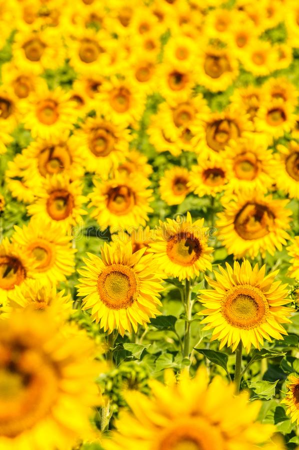 Sunflower field in Provence, France, shallow focus stock photography