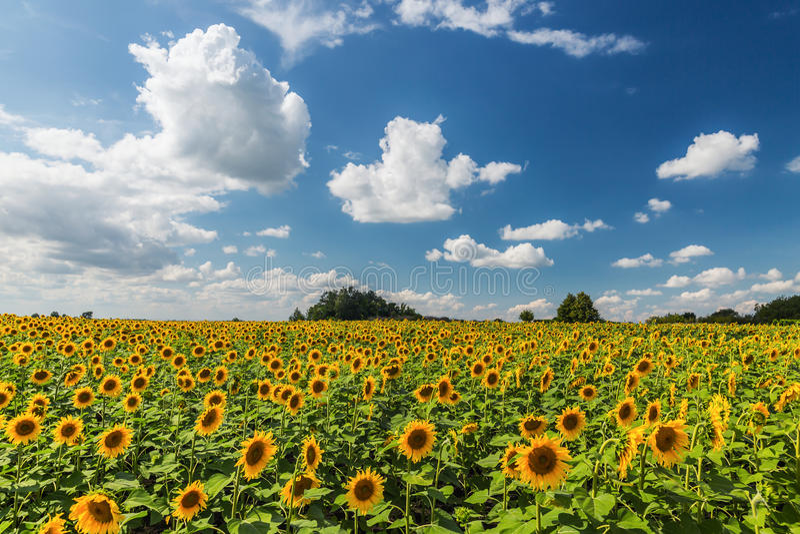 Sunflower field scenery . stock photo