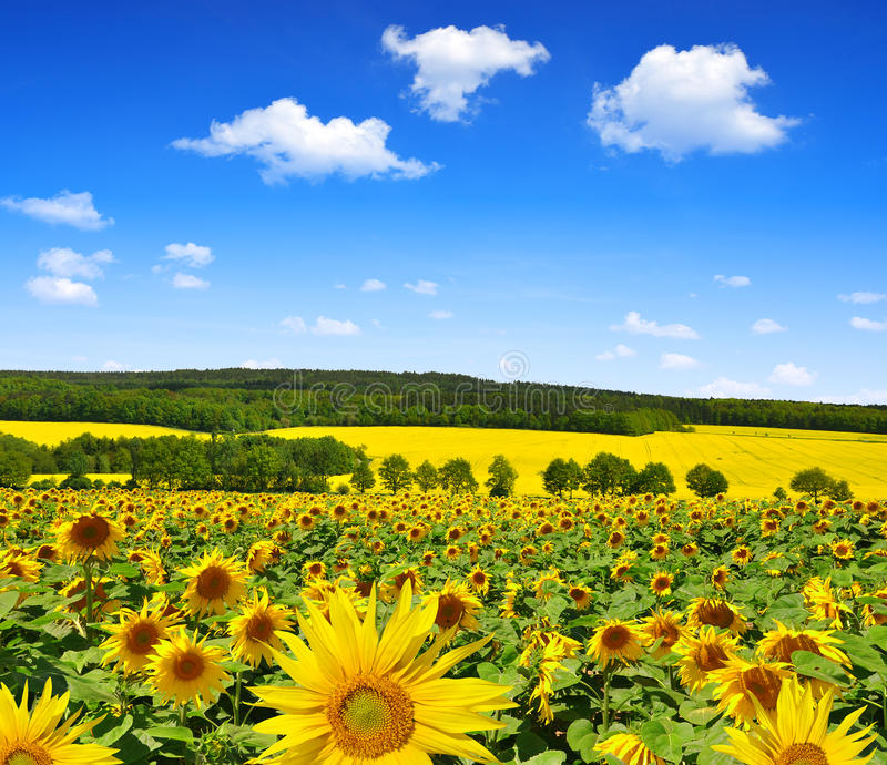 Download Sunflower Field Stock Photo - Image: 39268405