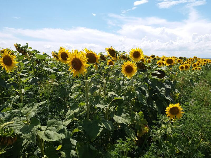Sunflower on the field. Summer time. Sunny day. Sunflower s on the field. Summer time. Sunny day. Blu sky. Yellow flower royalty free stock photos