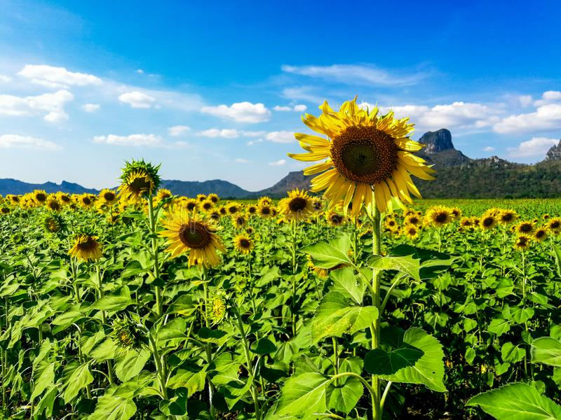 Sunflower field, Sunflowers at Khao Jeen Lae, Lopburi Province, Thailand.  stock photo