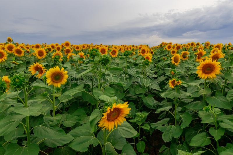 Sunflower in a field of sunflowers under a blue sky. Suns, yellows, backgrounds, leaves, summers, natures, fields, beauties, agricultures, blossoms, beautifuls royalty free stock image