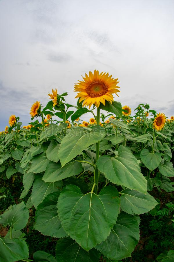 Sunflower in a field of sunflowers under a blue sky. Suns, yellows, backgrounds, leaves, summers, natures, fields, beauties, agricultures, blossoms, beautifuls stock photo