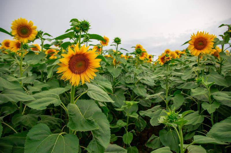 Sunflower in a field of sunflowers under a blue sky. Suns, yellows, backgrounds, leaves, summers, natures, fields, beauties, agricultures, blossoms, beautifuls stock image