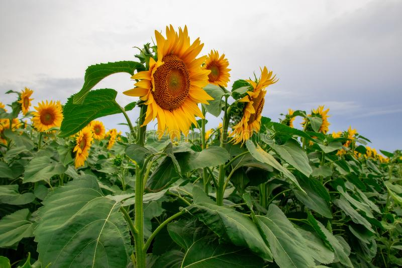 Sunflower in a field of sunflowers under a blue sky. Suns, yellows, backgrounds, leaves, summers, natures, fields, beauties, agricultures, blossoms, beautifuls royalty free stock photo