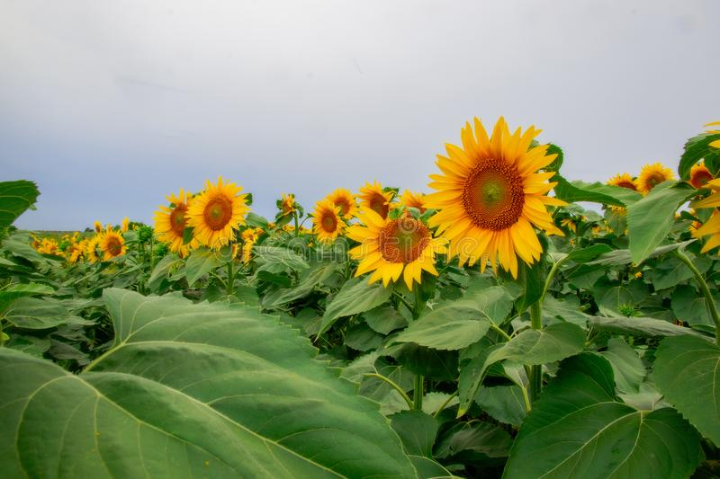 Sunflower in a field of sunflowers under a blue sky. Suns, yellows, backgrounds, leaves, summers, natures, fields, beauties, agricultures, blossoms, beautifuls royalty free stock photography