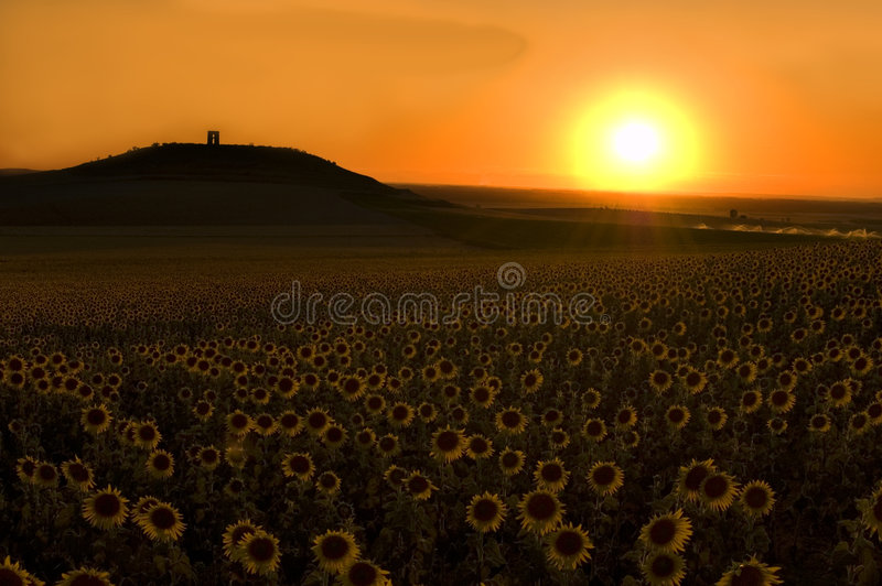 Download Sunflower field at sunset stock illustration. Image of food - 2997612