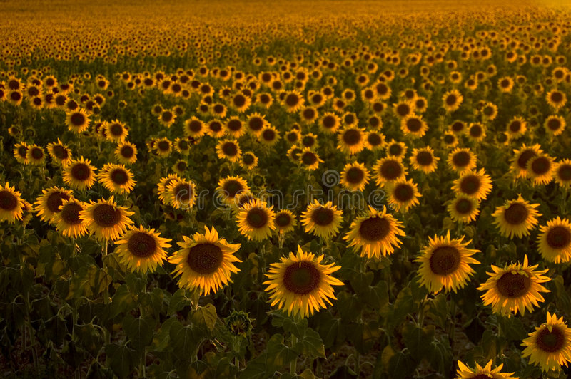 Sunflower Field At Sunset Stock Photos